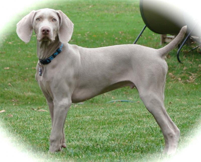 The gallery for --> Silver Weimaraner